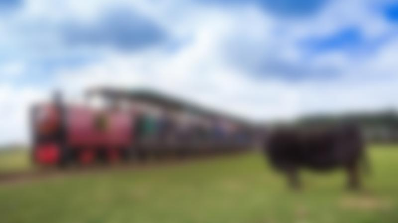 Cow by train at East Links Family Park in Dunbar