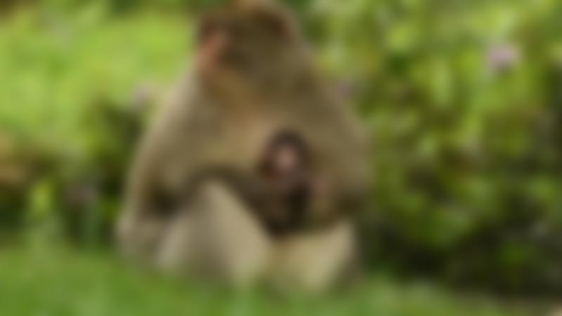 A mum and a baby monkey at Trentham Monkey Forest in Staffordshire