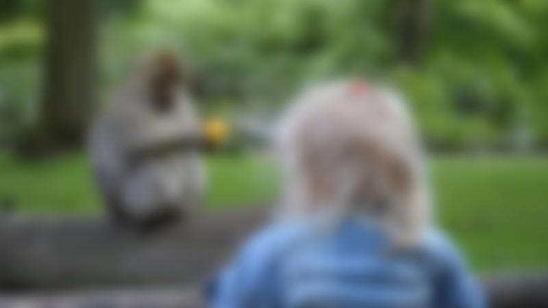 A little girl looking at a monkey at Trentham Monkey Forest in Staffordshire