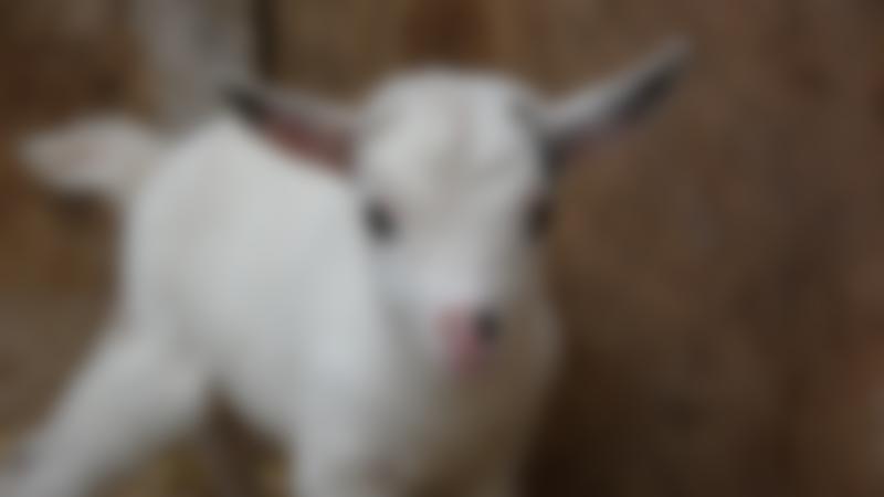 Goat at Farmtastic Animal Farm in Chippenham