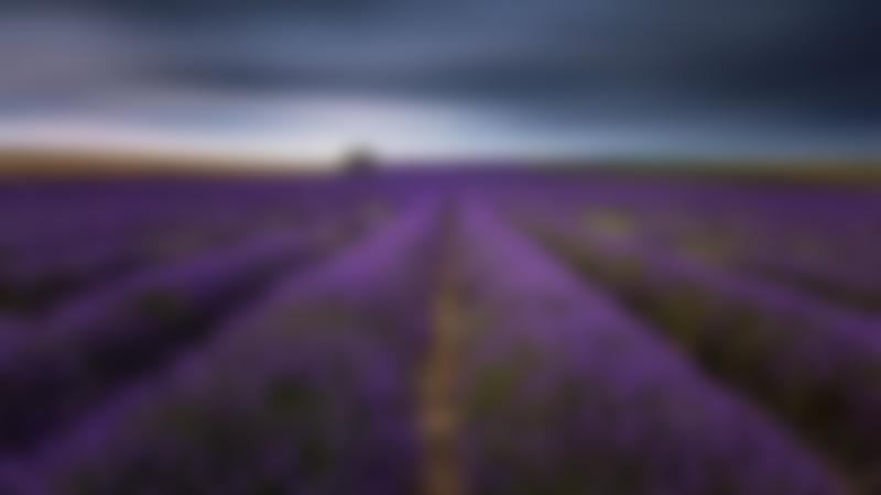 Lavender field at Hitchin Lavender