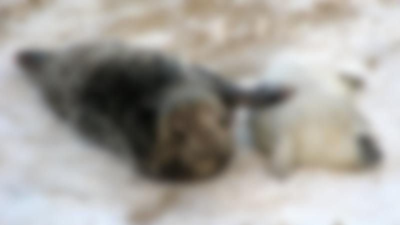 Seals at Horsey Beach, Horsey