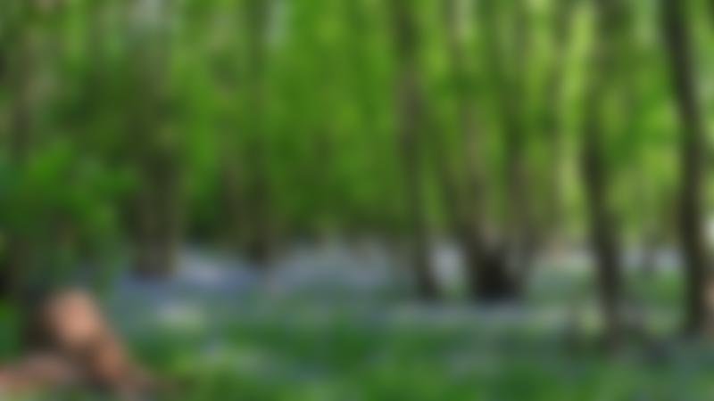 Bluebells at Church Farm in Stevenage