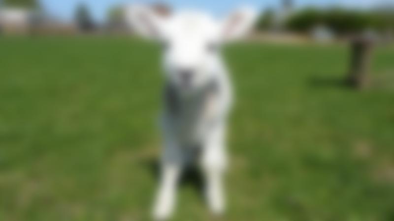 Lamb at Church Farm in Stevenage