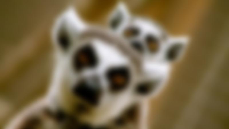 Lemurs at Lincolnshire Wildlife Park in Boston