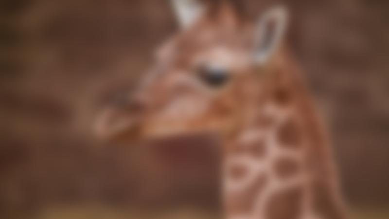 Giraffe at Chester Zoo