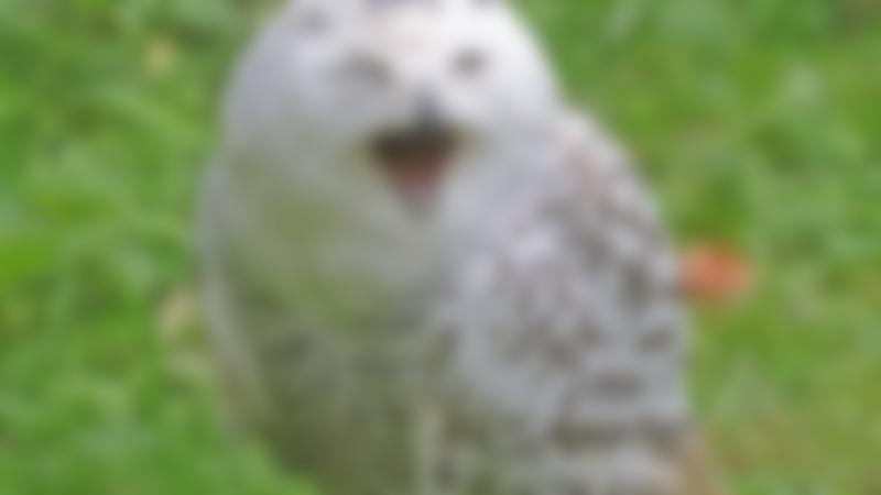 Snow owl at World of Owls in Antrim