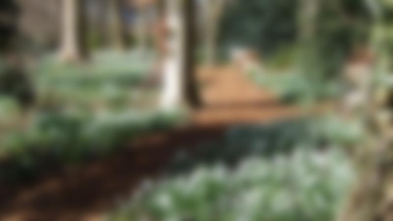 Snowdrop walk in Woodland Garden at Coton Manor in Northampton