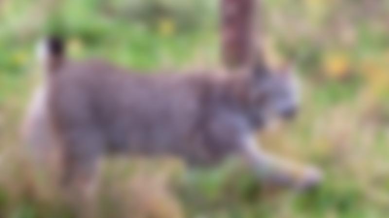 Lynx at Hamerton Zoo Park