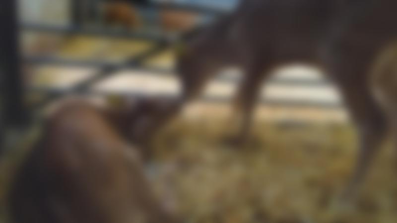 Cows at White Post Farm Centre in Farnsfield