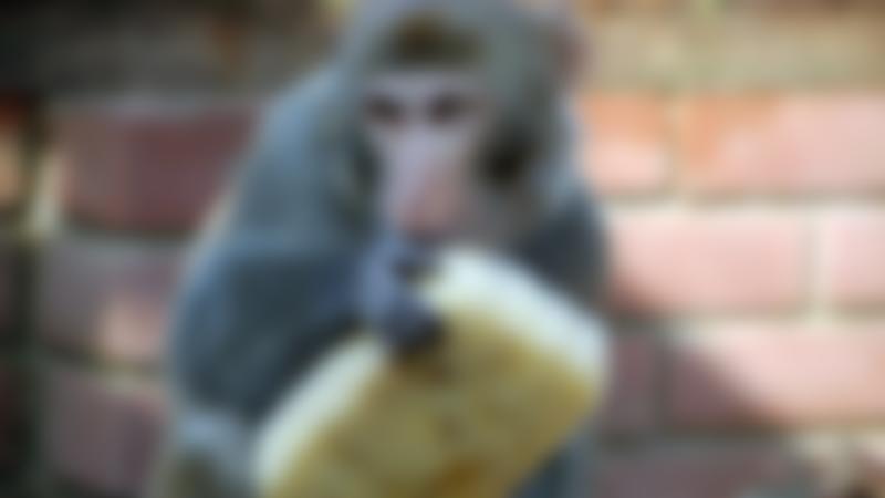 Rhesus macaque at Monkey Haven in Newport
