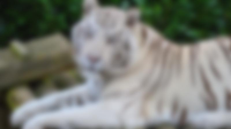 A white tiger at Paradise Wildlife Park in Hertfordshire