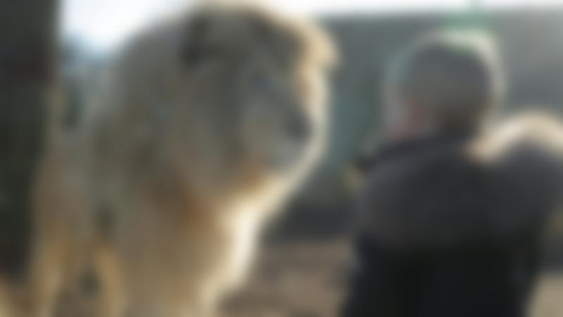 A little boy standing next to a lion at Paradise Wildlife Park in Hertfordshire