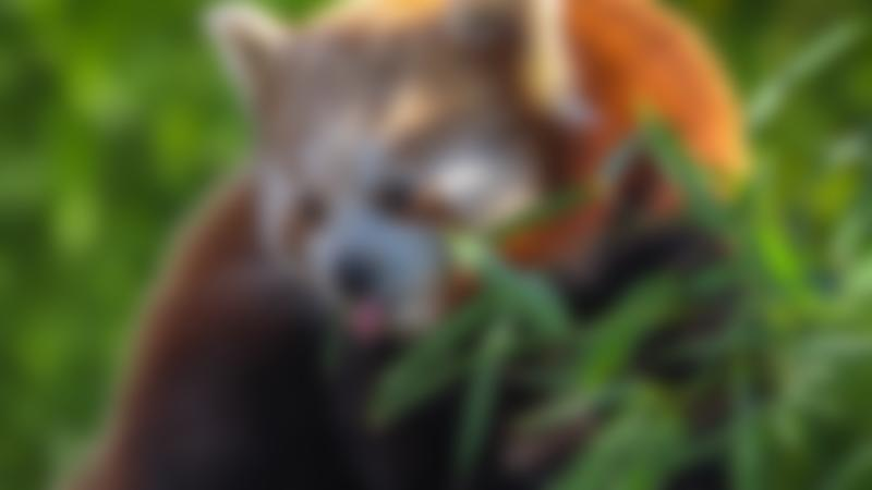 A red panda at Paradise Wildlife Park in Hertfordshire