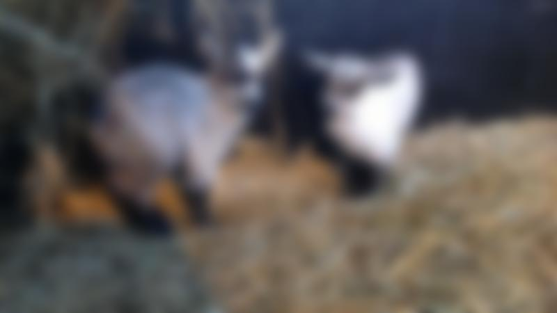 Goats at Tweddle Childrens Animal Farm in Hartlepool