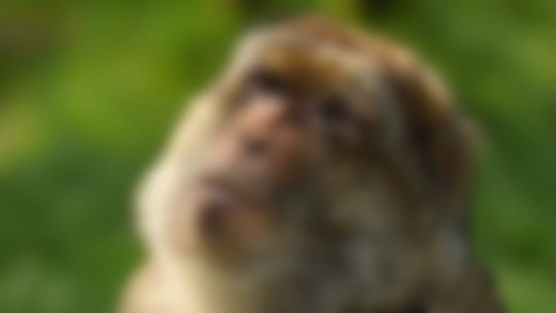 A monkey at Trentham Monkey Forest in Staffordshire