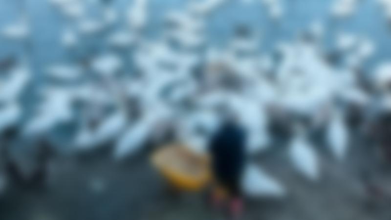Man feeding swans at WWT Caerlaverock Wetland Centre in Dumfries