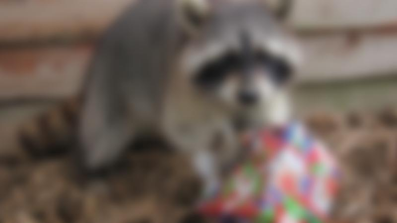 Raccoon at Northumberland Country Zoo in Morpeth