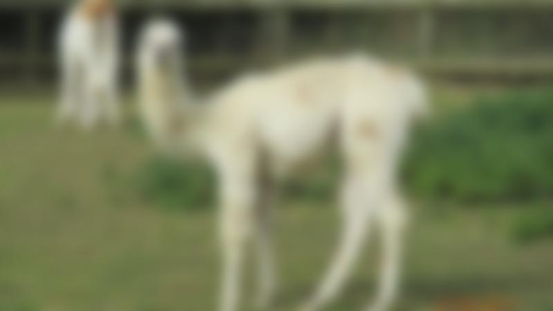 Llamas at Waterfowl Sanctuary and Childrens Farm in Banbury