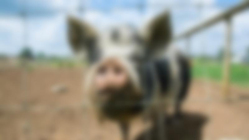 Pig at Farmtastic Animal Farm in Chippenham