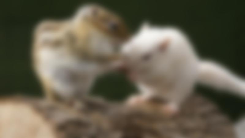 Chipmunks at Totnes Rare Breeds Farm