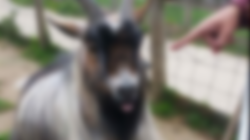 A goat at The Hop Farm Family Park in Kent